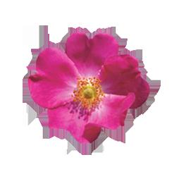 ulei de rosa mosqueta